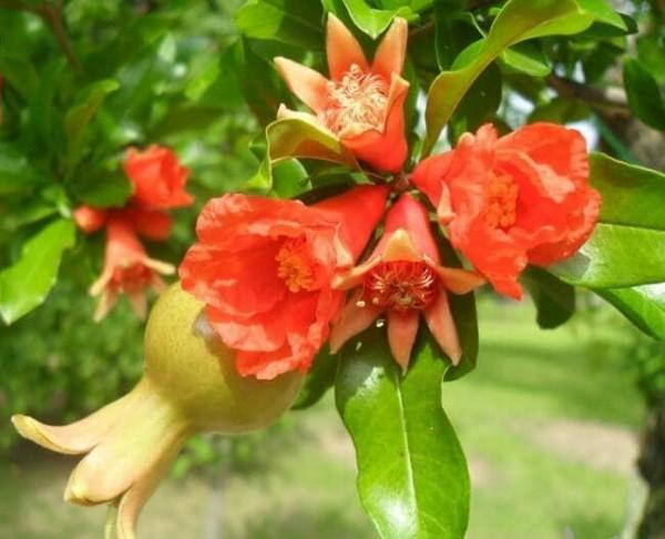 석류1.jpg