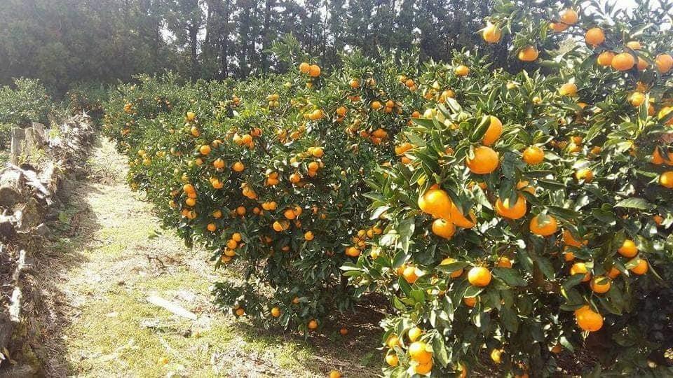 감귤봉진(柑橘封進)